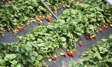 Strawberries ready for picking in Palos de la Frontera near Huelva, Spain.