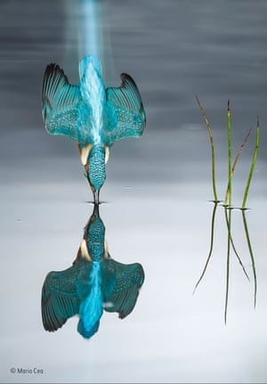 The blue trail by Mario Cea (Spain) The kingfisher frequented this natural pond every day, and Mario used a high shutter speed with artificial light to photograph it. He used several units of flash for the kingfisher and a continuous light to capture the wake as the bird dived down towards the water.