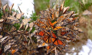 Not long ago, tree groves in California would be teeming with monarch butterflies.