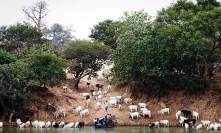 Goats congregate beside the Gambia river as a boat pulls in to shore.