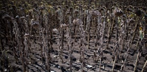 Ezerets, Bulgaria: Dried sunflowers in a field. Temperatures in the country are forecast to exceed 41C (106F) next week