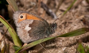 A small heath butterfly