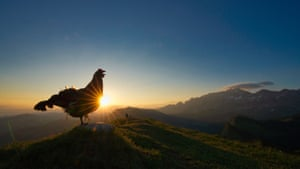 Youth category (10-17 years) runner-up:Morning lek by Levi Fitze (Switzerland) Black Grouse