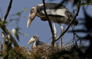 An endangered greater adjutant stork, with a baby in its nest in Dadara village, west of Gauhati, India