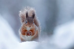 British seasons: Seasonal Scottish Red Squirrels (Red Squirrel), Rothiemurchus Forest, Highland.