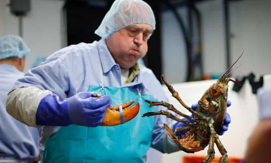 A lobster is processed