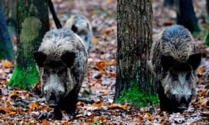 Wild boar in the woods in Berlin