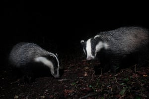 Two badgers in the UK where a controversial cull is being expanded