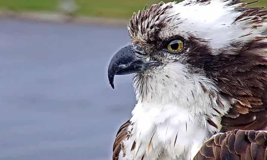 'Sleek, powerful and yellow-eyed': an osprey has an irresistible screen presence.