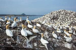 Northern gannets are the largest seabirds in the North Atlantic with a wingspan of up to 2 metres. When flying, they alternate between flapping and gliding