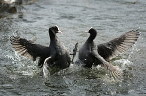 Coots in Regent's Park, London, UK, fight near a nest with eggs