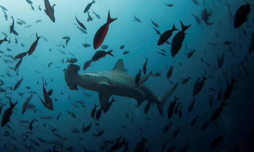 A hammerhead shark. Half of the world's 31 oceanic shark species are now listed as either endangered or critically endangered by the International Union for Conservation of Nature.