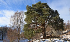 A silver birch and Scots pine in the snow at Dundreggan