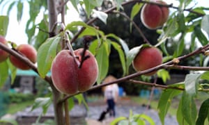 Morton, Derbyshire: 'This is my first year of allotmenting and my peach tree has produced delicious juicy peaches. I'm proud of what I have achieved in just a year.'