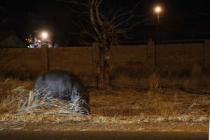 A hippopotamus wanders in search of water in Kasane, in the district of Chobe, northern Botswana, while Botswana is experiencing a severe drought