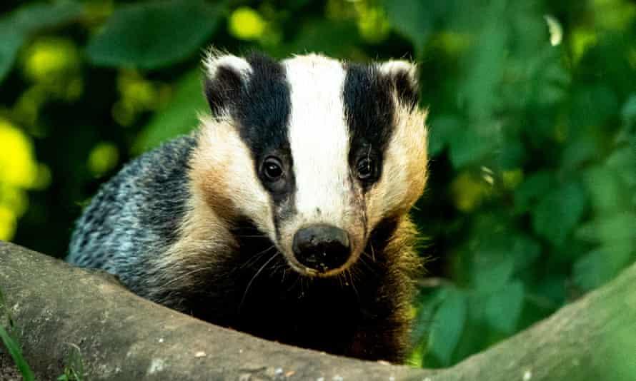 A badger in Devon.