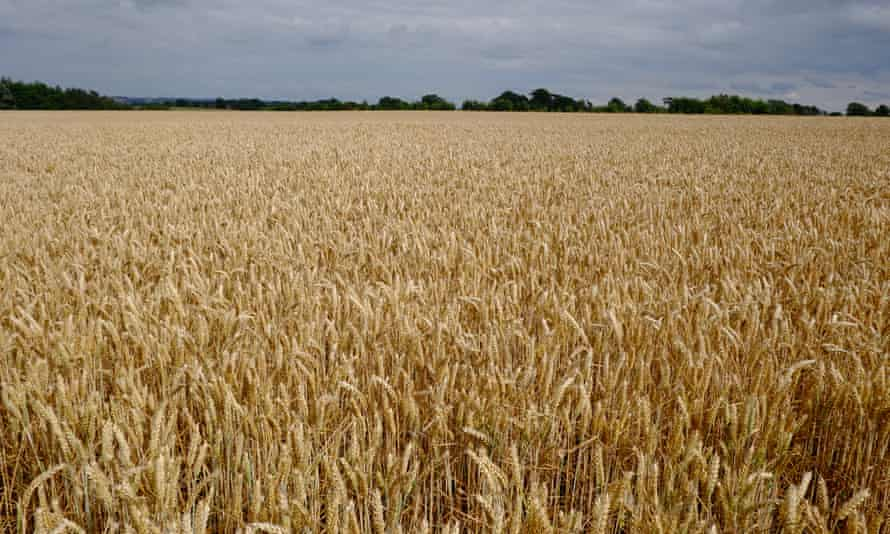 Wheatfield in Cold Aston, Gloucestershire