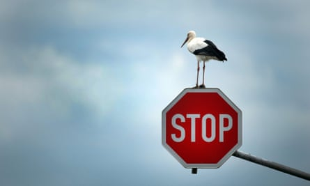 A stork perches on a stop sign near Immerath, Germany, 15 October 2013, before continuing his journey to search for his favourite food targets - mice, frogs and other small animals.