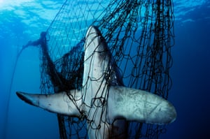 A thresher shark caught in a gillnet in Mexico's Sea of Cortez