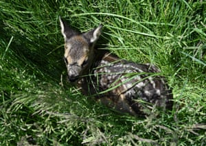 A small fawn lies in a meadow in Uberacker, southern Germany