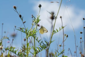 Large white butterfly among wildflowers at Noar Hill, Hampshire, UK.