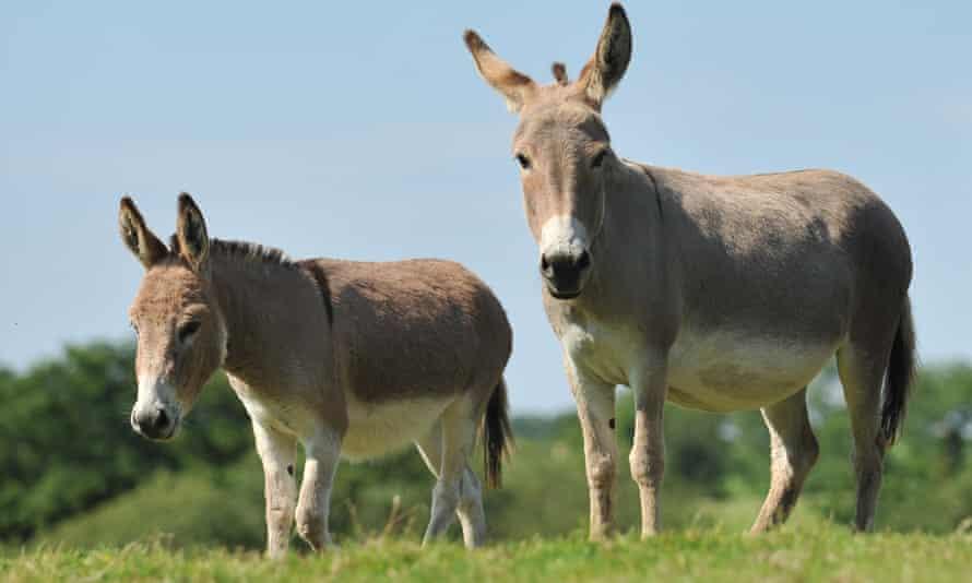 Two donkeys in a field