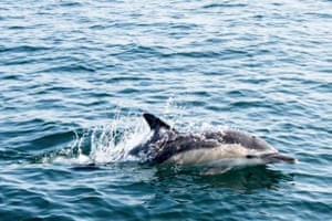 An Atlantic white sided dolphin swims off the coast of La Turballe, western France