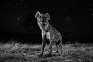 """Natural world category, winner: Will Burrard-Lucas'To show hyenas in their element, I wanted to photograph them at night,' Burrard-Lucas says. 'The stars in Africa are so beautiful that I also wanted to include them in my image. I used a remote-control """"BeetleCam"""" to position my camera on the ground so I could photograph the hyena with the beautiful starry sky behind. This is a single exposure. I lit the hyena with two wireless off-camera flashes and used a long shutter speed to expose the stars'"""