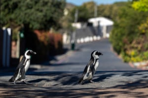 Penguins waddle around Cape Town suburb.