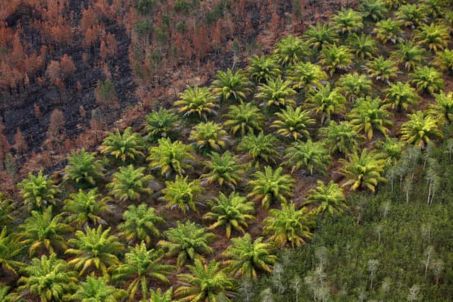 A eucalyptus plantation