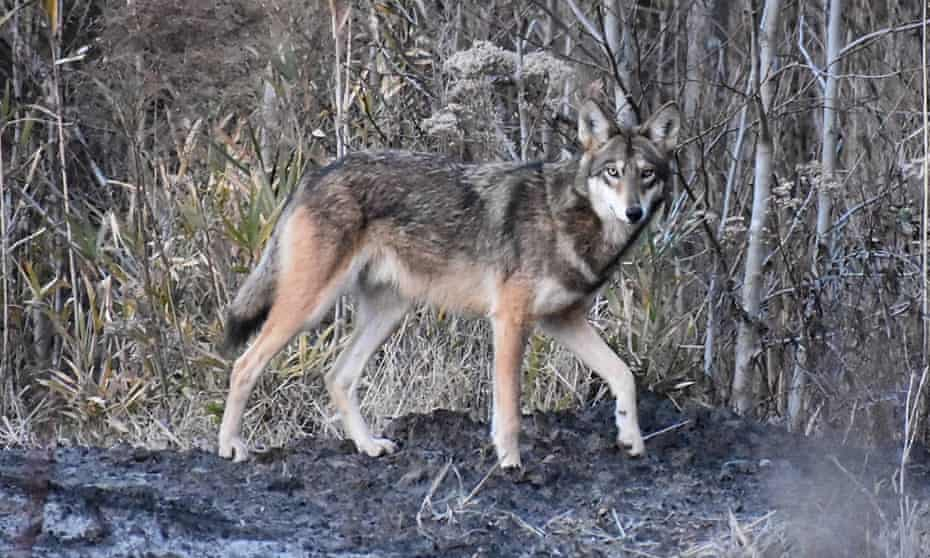 A red wolf at Alligator River national wildlife refuge. In 1980 they were declared extinct in the wild.