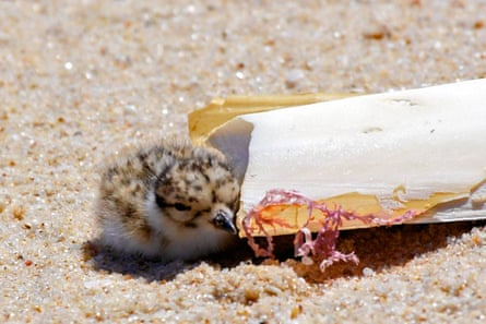 A hooded plover chick