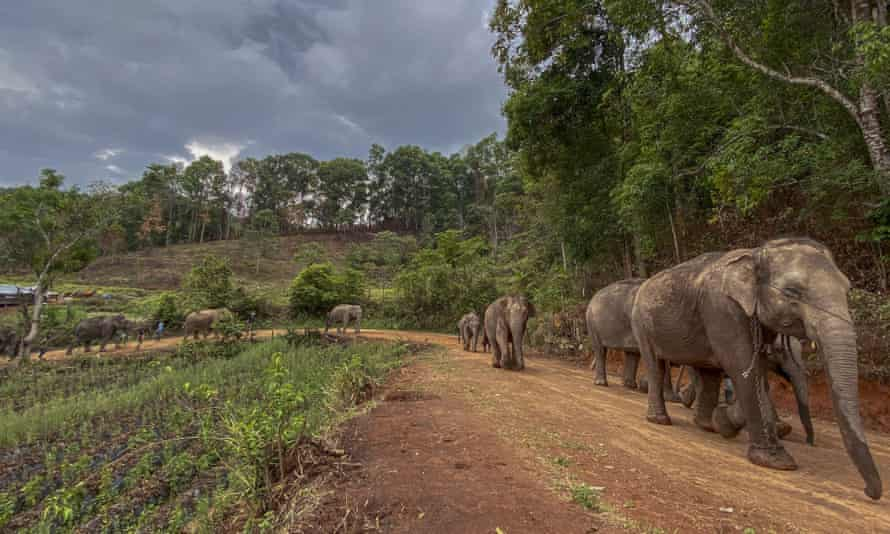 A herd of makes a 150km journey from Mae Wang to Ban Huay in northern Thailand. Elephants are being helped to return to their natural habitats after sanctuaries closed due to lack of tourists amid Covid-19.