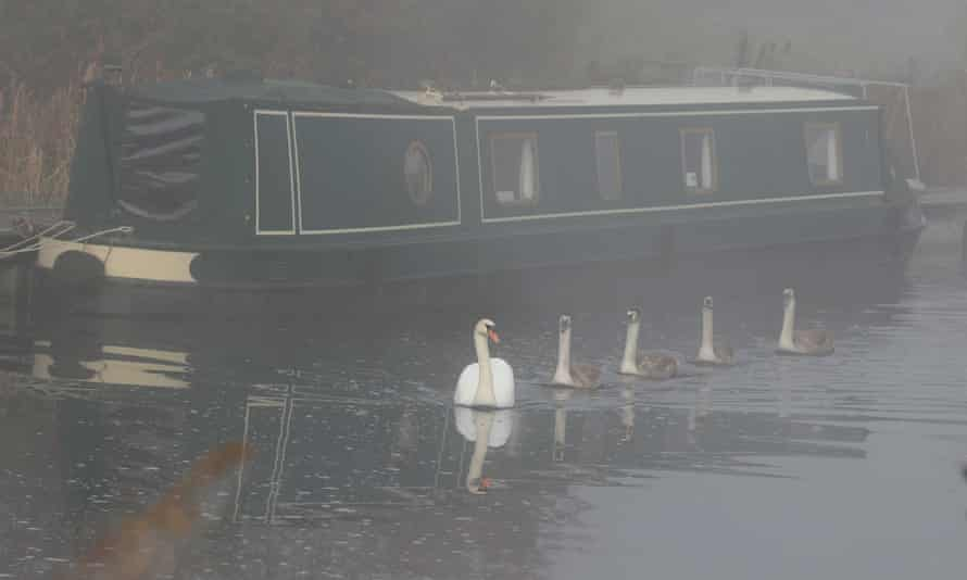 A swan and cygnets glide along the Forth and Clyde canal in the morning mist.