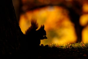 British seasons: Seasonal Scottish Red Squirrels (Red Squirrel), Rothiemurchus Forest, Highland