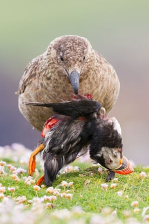 Animal behaviour: Life and Death at the Edge of the World (Great Skua and Puffin), Fair Isle, Shetland