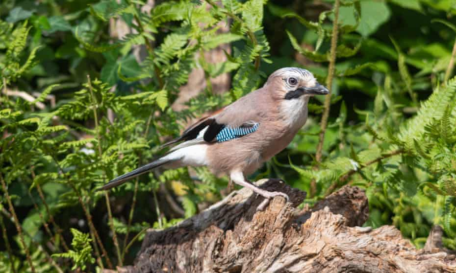 Jay (Garrulus glandarius), a large colourful bird of the crow or corvid family pictured in the UK.