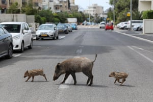 A mother and two wild boar cubs roam at a street of the Carmel neighbourhood in Haifa, Israel, 11 April 2020.