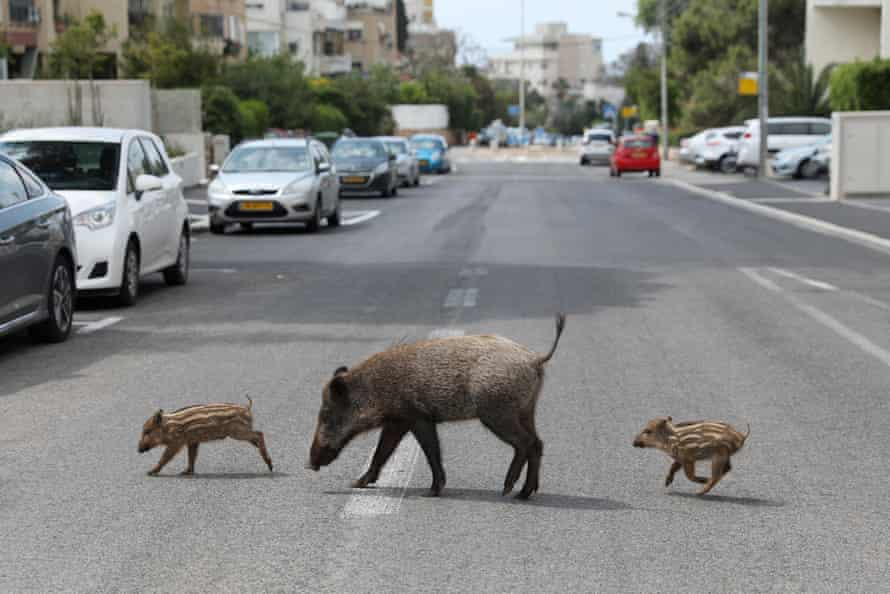 A mother and two wild boar piglets roam at a street of the Carmel neighbourhood in Haifa, Israel, 11 April 2020.