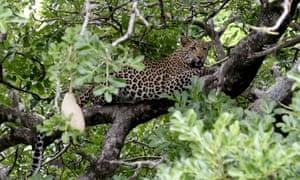 A leopard in South Africa's Kruger national park.