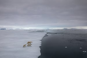 Three polar bears stare into ice-free waters in the Arctic.