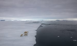 Three polar bears walking across fragile-looking sea ice towards the sea.
