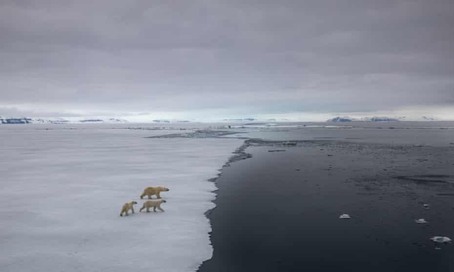 Three polar bears walking across fragile-looking sea ice towards the sea.