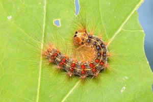 A Gypsy moth caterpillar perches on a partially eaten oak tree leaf, Bear Mountain State Park, Stony Point, US