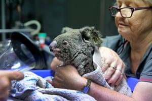 A koala named Frizzle from Taree is treated for burns.