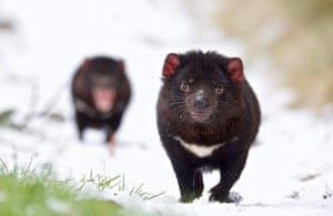 Tasmanian Devils in the snow at Aussie Ark. Devils were once native to mainland Australia and are now found only in the wild in Tasmania, including tiny east-coast Maria Island where there is a conservation project with disease-free animals.