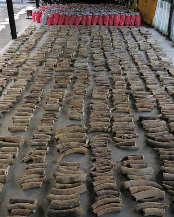 Seized ivory and sacks of pangolin scales in Singapore