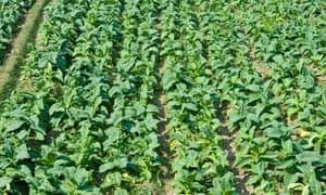 A field of tobacco plants