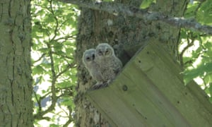 Owlets perched at the top of a nest box in a tree