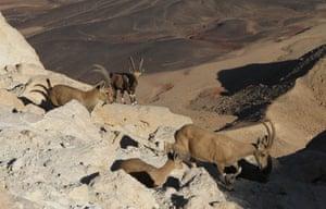 Nubian ibexes near Mitzpe Ramon in south Israel
